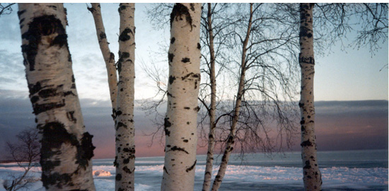 Subject: Birch Trees on Lake Superior; Location: Madeline Island, WI; Date: 1996; Photographer: Sonya Newenhouse